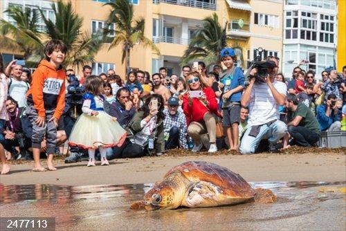 Devueltas al mar dos tortugas en Las Canteras que fueron rescatadas heridas por plásticos y utensilios de pesca
