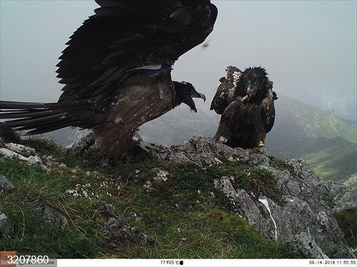 Llegan a Picos de Europa tres nuevos ejemplares de quebrantahuesos procedentes de Aragón