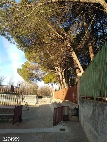 Ayuntamiento Cuenca corta los pinos del patio de Educación Infantil del colegio Fuente del Oro por riesgo de caída