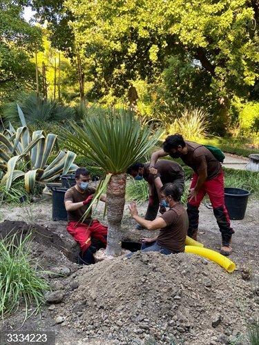 El Real Jardín Botánico del CSIC incorpora a su colección cuatro dragos canarios donados por una pareja de Jerez (Cádiz)
