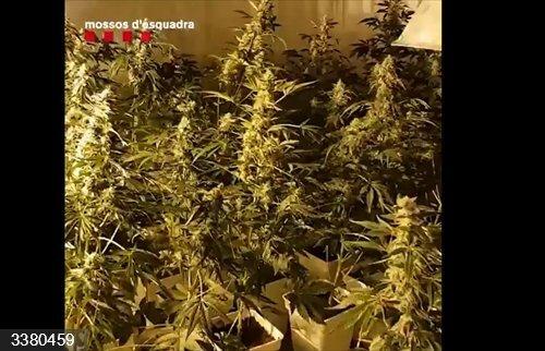 Los Mossos detienen a 16 intermediarios entre productores de marihuana y compradores.<br>REMITIDA / HANDOUT por MOSSOS D'ESQUADRA<br>Fecha: 18/10/2020.                 <br>Fotografía remitida a medios de comunicación exclusivamente para ilustrar la noticia a la que hace referencia la imagen, y citando la procedencia de la imagen en la firma
