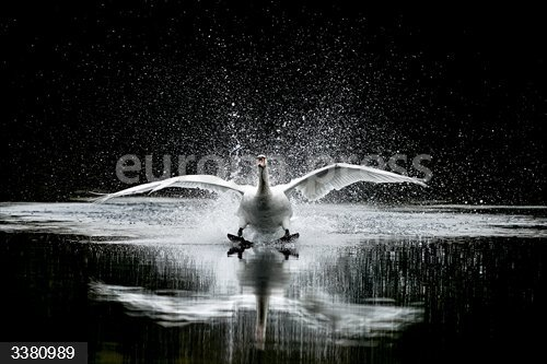 18 October 2020, England, London: A Swan lands on a lake in the centre of a course for the Kempton Park Racecourse. Photo: Alan Crowhurst/PA Wire/dpa