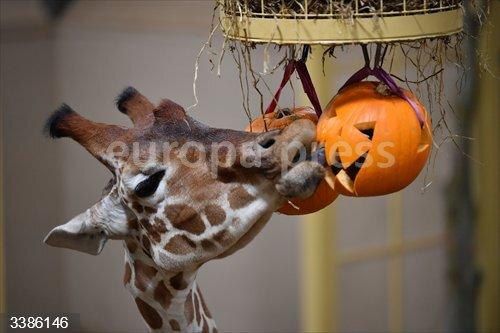 21 October 2020, England, Bristol: A giraffe enjoys a pumpkin treat at Wild Place Project in Bristol. Photo: Ben Birchall/PA Wire/dpa