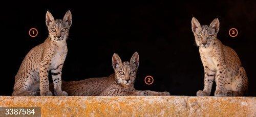 WWF busca nombre para las crías de la lince Odrina nacidas en Territorio Lince<br>REMITIDA / HANDOUT por WWF<br>Fecha: 21/10/2020.                 <br>Fotografía remitida a medios de comunicación exclusivamente para ilustrar la noticia a la que hace referencia la imagen, y citando la procedencia de la imagen en la firma