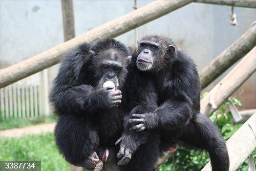 Chimpancés Tina y Martin, estudiados en el Centro Nacional para el Cuidado de Chimpancés en Texas.<br>REMITIDA / HANDOUT por UNIVERSITY OF WARWICK <br>Fecha: 20/10/2020.                 <br>Fotografía remitida a medios de comunicación exclusivamente para ilustrar la noticia a la que hace referencia la imagen, y citando la procedencia de la imagen en la firma